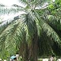 搖錢樹-棕櫚樹