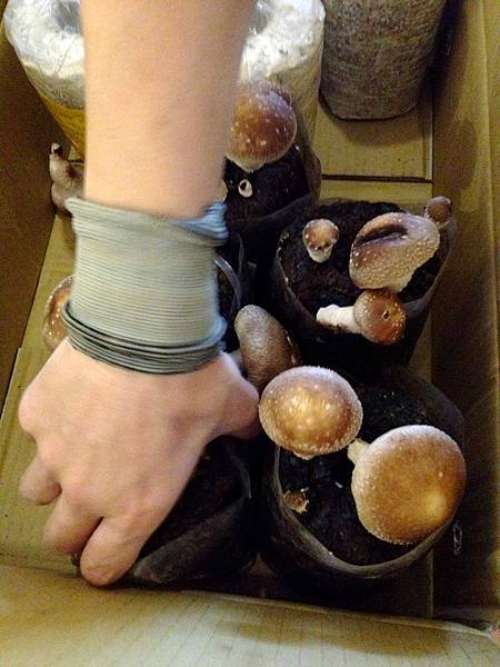 開始種香菇