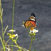 黑端豹斑蝶 學名: Argyreus hyperbius