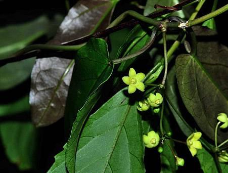 夾竹桃科植物