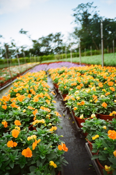 中途的花園,這花我認識,小黃花!