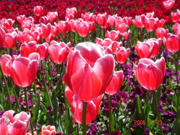 Canberra 超美的花