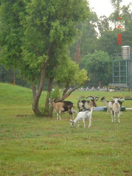 南澳農場-羊咩咩