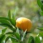 黃橙橙的橘子 很好吃喔!