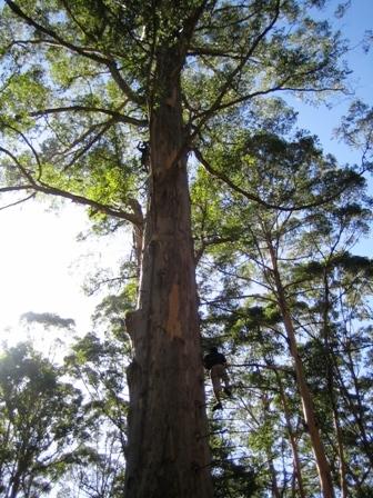 Climb Tree In Pemberton