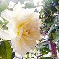 淡黃玫瑰1.jpg