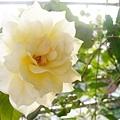 淡黃玫瑰2.jpg