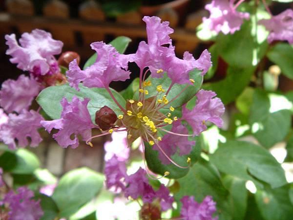 紫薇1.jpg