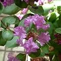 紫薇2.jpg
