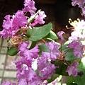 紫薇3.jpg