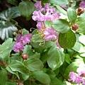 紫薇5.jpg