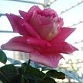 深粉色玫瑰1.jpg