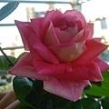 深粉色玫瑰2.jpg