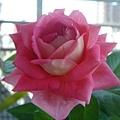 深粉色玫瑰3.jpg