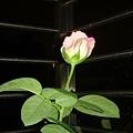 深粉色玫瑰5.jpg