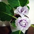 紫色大岩桐2.jpg