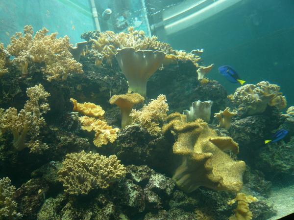 葉形軟珊瑚.JPG