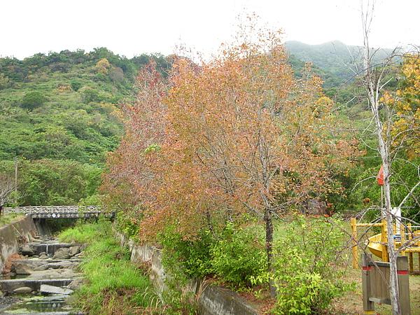 溪畔成排的楓香