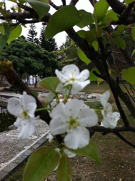 南八里的梨花