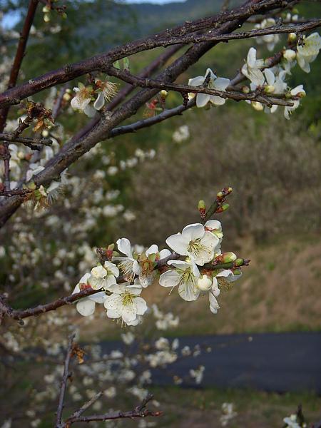 陽光下盛開的梅花