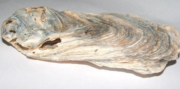 化石1 075.jpg