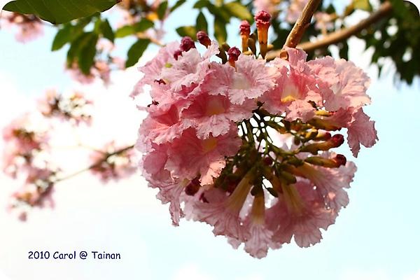 2010洋紅風鈴木 06.JPG