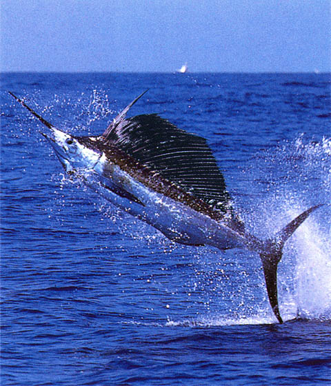 sailfish02.jpg