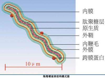 梅毒螺旋體