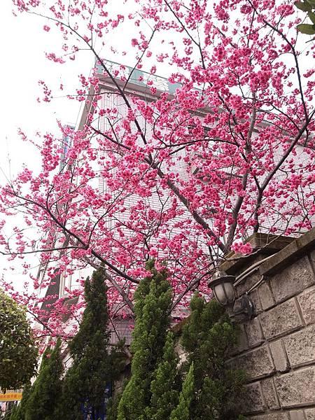 1.龍潭溫馨的櫻花開