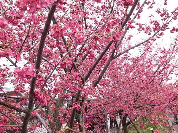 1.櫻花茂盛唯美姿態