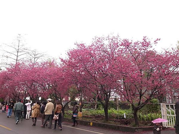 3.走逛在櫻花下