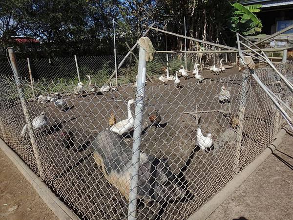 8.布拉姆蓄養的禽類