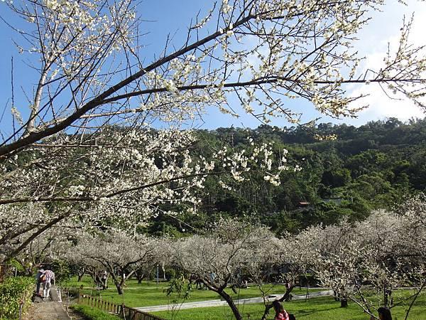 23.白梅遍佈的美景