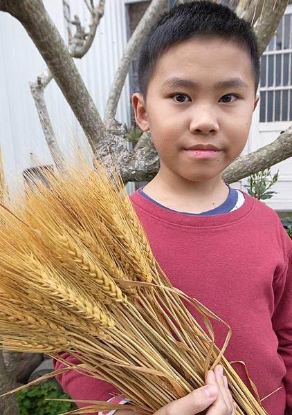 13.小麥大豐收