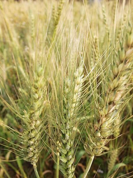 9.青春小麥