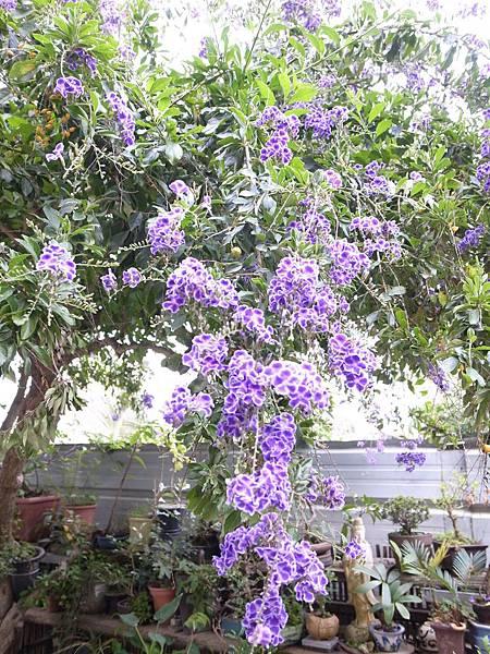 31.紫花兒