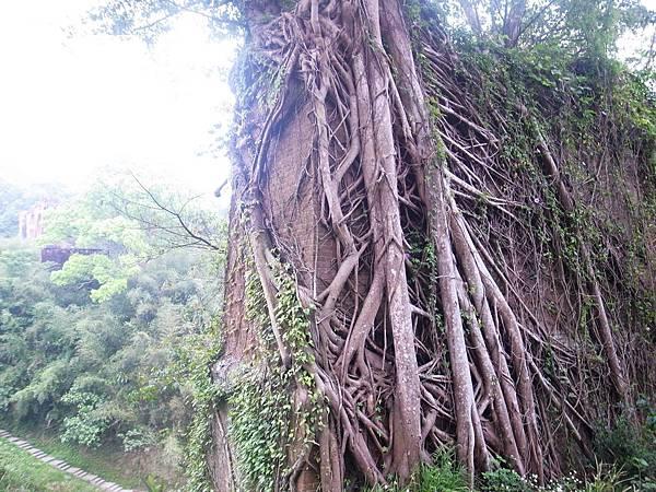 30.粗枝藤蔓攀附的美感