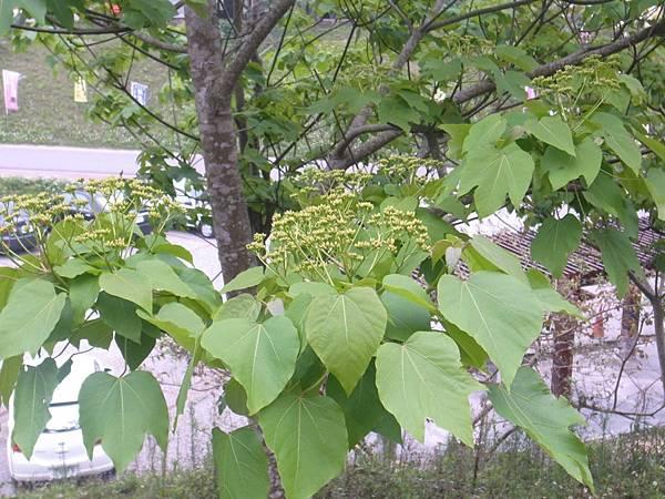 43.油桐花苞