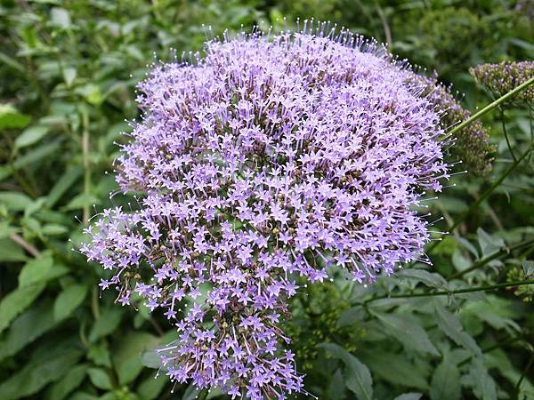0.星紫花