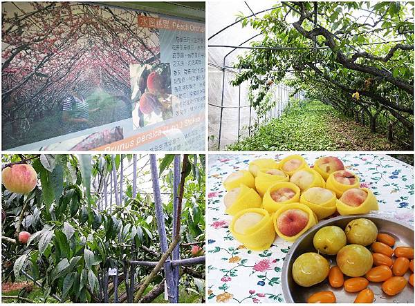 4-5梅峰農場水蜜桃