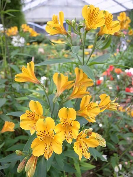 4-10黃色百合水仙花
