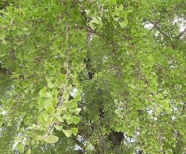 14.銀杏樹