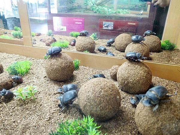 4.糞金龜
