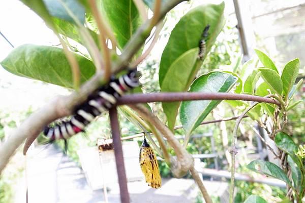 5.花蝴蝶的幼虫