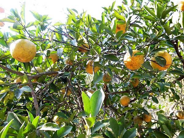 2.滿山滿谷的橘子