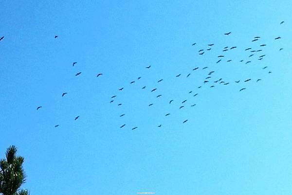 36.燕鷗入境過冬