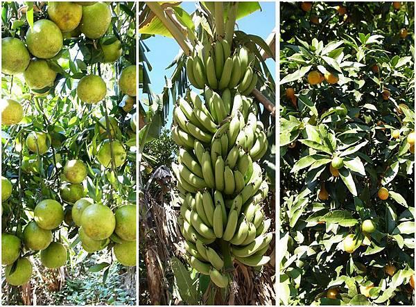 33.待熟的水果們