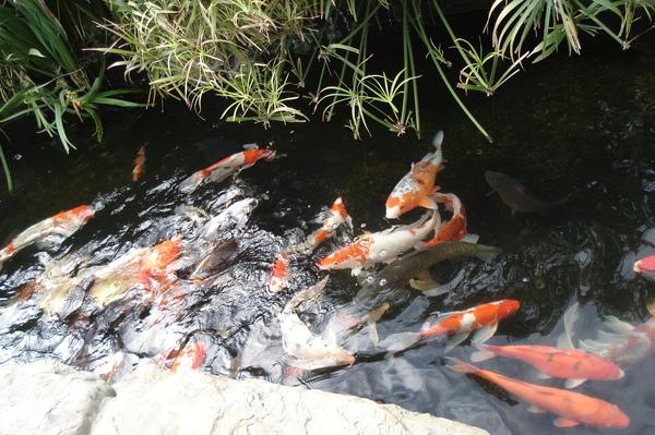11泉水池的鯉魚.jpg