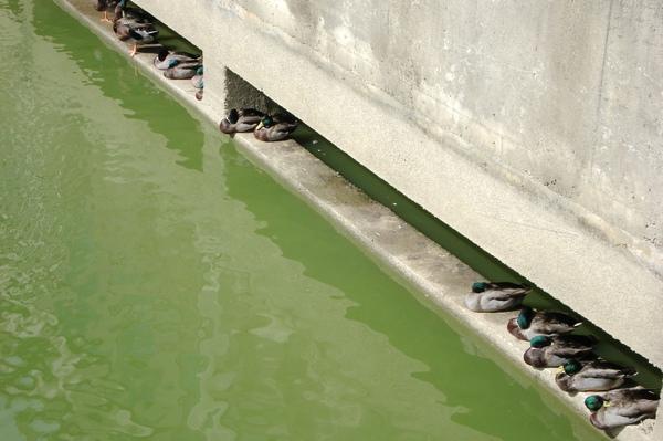 22綠頭鴨休憩中.jpg