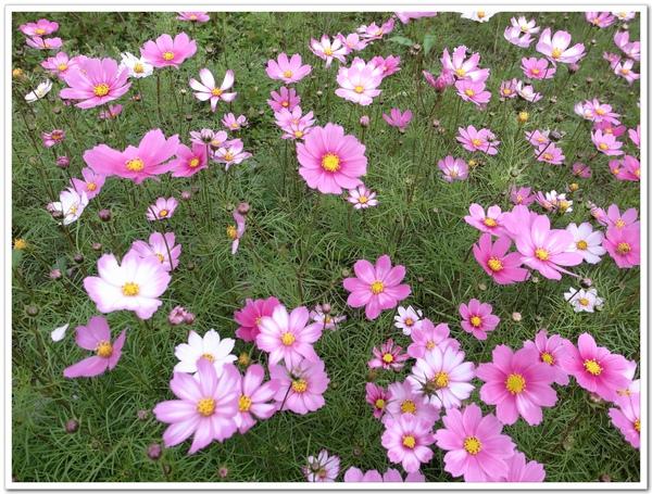 粉色波斯菊.jpg